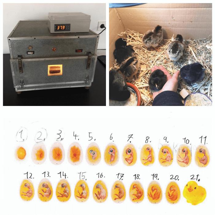 vom kueken zum ei